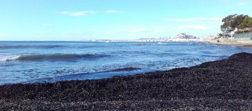 En las calas se acumulan los restos de Posidonia que protegen el litoral (Alicante, 2016)